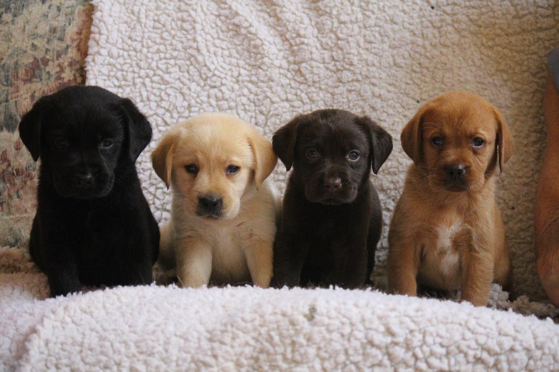 Keepsake Labradors LLC - Keepsake Labradors