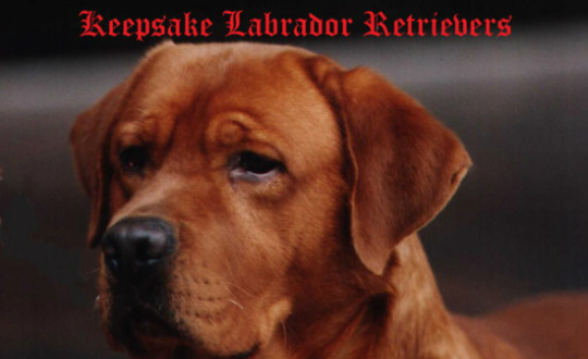 Keepsake Labradors Llc Keepsake Labradors